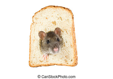rat in bread hole - curious rat looking through hole in...