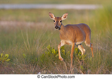 Endangered Key Deer walking in high grass in Florida Keys