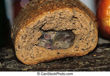 Mice burrow, bread, animal, wildlife, rodents, Muridae,...