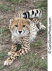 Cheetah Cub - Young cheetah wild cat with long legs and...