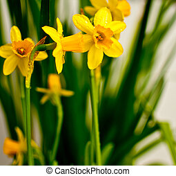 Narcissus / Daffodil on Light Background - Fresh Spring...