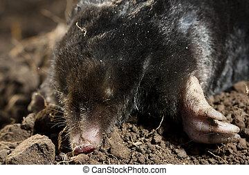 A Mole - A mole or Talpidae on soil