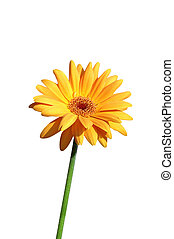 yellow gerbera close up on white background