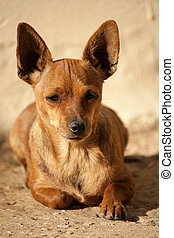domestic dog - Close view of a brown domestic dog on the...