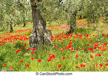 corn poppy in olive grove 06