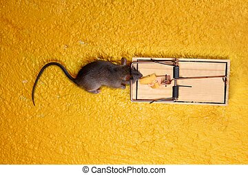 dead Mouse in cheese trap over yellow background