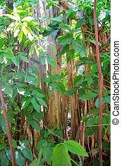 Rainforest jungle in central america wild nature lianas