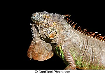 Iguana from mexico profile portrait detail macro head