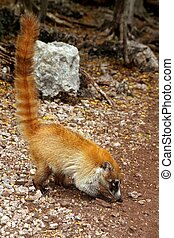 coati,  nasua,  animal,  tailed, anillo,  narica