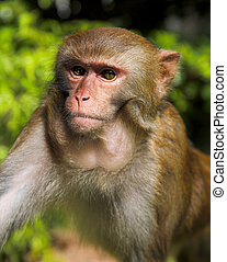 macaque - cute macaque on the green forest background