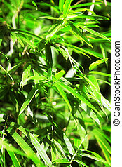 bamboo plant - green leaves of bamboo plant textured...