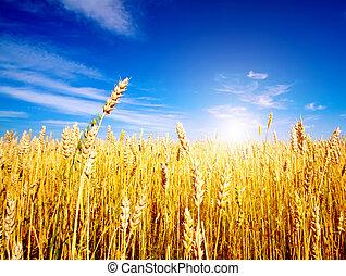 dourado, trigo, campo, azul, céu, fundo