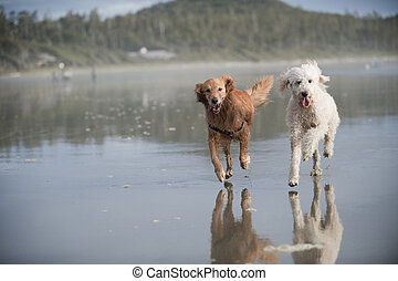 Two dogs run on beach 3 - Two dogs run towards camera away...