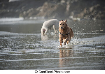 Dog runs towards camera 3 - Wet Golden Retriever runs on a...