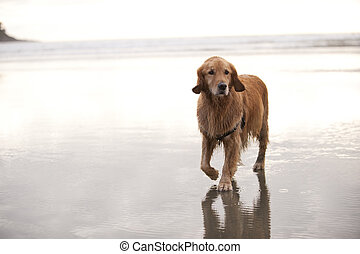 Dog walks on beach - Wet Golden Retreiver walks towards...