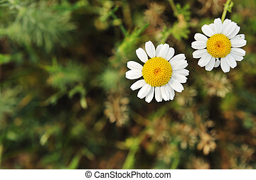 Daisy two flowers