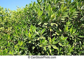 tropische, Mangrovenbaum, Pflanze, baum, mexiko