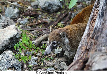 Coati ring Tailed Nasua Narica animal in South America
