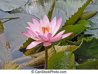 Water Lily Flowers In The pond