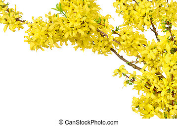 Border of yellow spring blossoms - White background bordered...