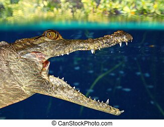 Crocodile cayman swimming in mangrove swamp up down...
