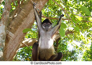 Ateles geoffroyi Spider Monkey Central America - Ateles...