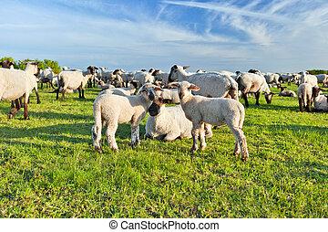 Um, verão, paisagem, rebanho, sheep