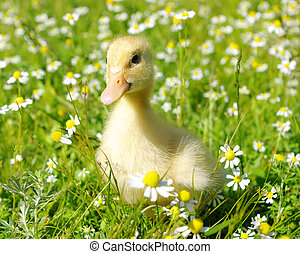 duck  - baby duck in the grass