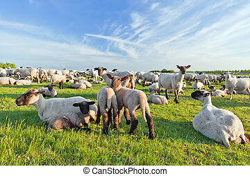 A summer landscape and herd sheep in the Niedersachsen