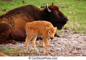 Bison Calf - American bison (Bison bison, also known as...