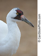 Critically Endangered Whooping Crane, Grus americana,...