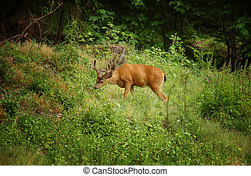 Young male black-tailed deer Odocoileus hemionus on a green...