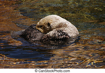 Sea otter grooming itself surrounded by seaweeds