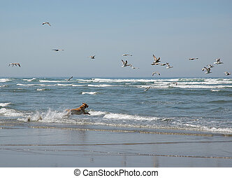 A dog chasing seagulls at the beach - A dog splashing in the...