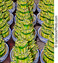bamboo plant - this is a roll of bamboo plant