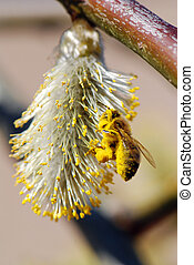 Bee and pussy-willow - Macro of a bee collecting pollen from...