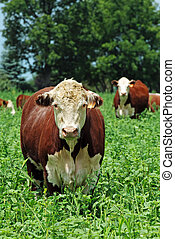 beef cattle - closeup of beef cattle in green field