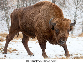 Bison winter day in the snow