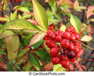 Plant with red fruits - a plant filled with red fruits