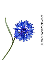 blue cornflower - isolated blue cornflower on white...