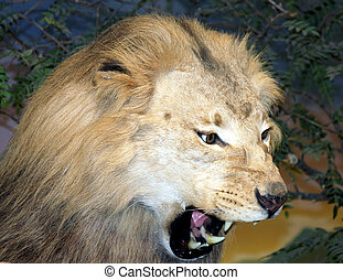 roaring lion close up with teeth showing