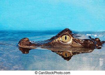 Alligator head closeup - closeup of an Alligator head in...