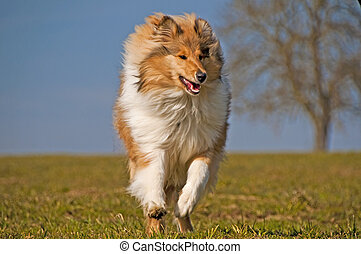 Collie - collie running