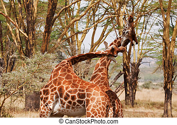 Two Giraffe Fighting - Two young male Rothschilds Giraffe...