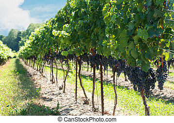 concord grapes on the vine on a summer day
