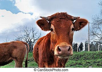 Cow, Bizkaia, Spain