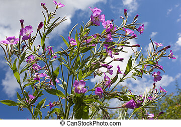 Rosebay Willowherb - Vibrant pink Rosebay Willowherb flowers...