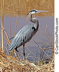Great Blue Heron in Bosque NM 2 - Great Blue Heron Ardea...