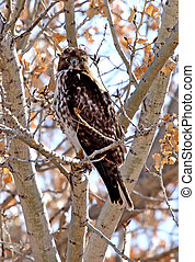Red-tailed Hawk in Cottonwood 5
