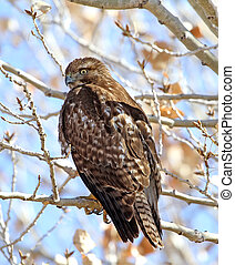 Red-tailed Hawk in Cottonwood 4